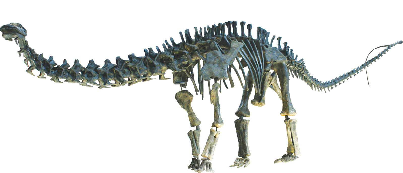 Brontosaurus: by MCDinosaurhunter Own work, CC BY-SA 3.0 https://commons.wikimedia.org/w/index.php?curid=33465760